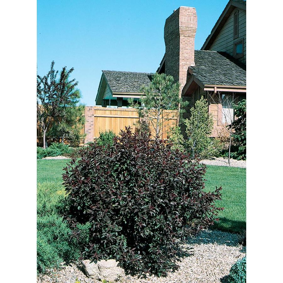 Monrovia 3.58-Gallon Pink Sand Cherry Accent Shrub