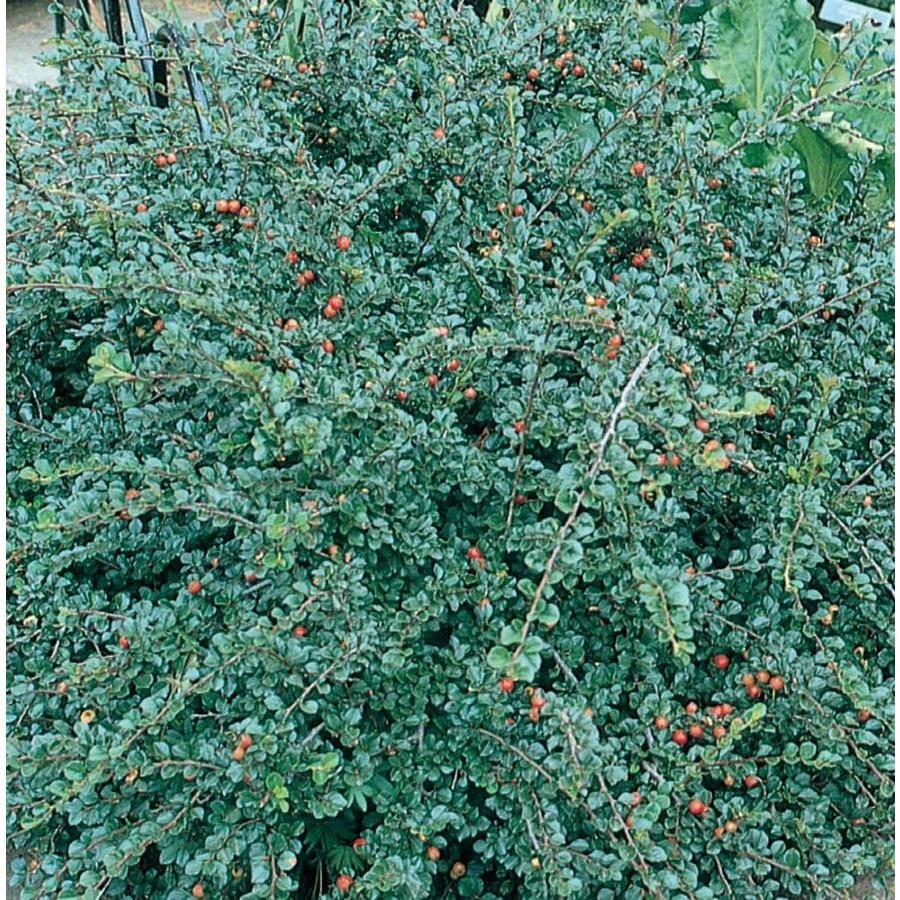 2.58-Gallon Pink Cranberry Cotoneaster Flowering Shrub (L14183)