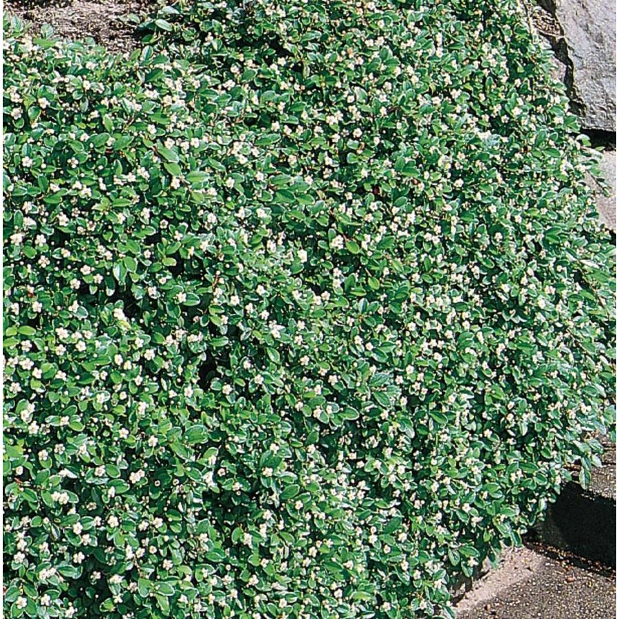2.87-Quart White Coral Beauty Cotoneaster Flowering Shrub (L5177)