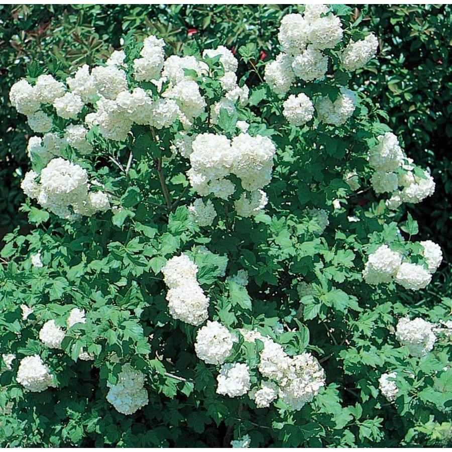 2.87-Quart White Common Snowball Viburnum Flowering Shrub (L5960)