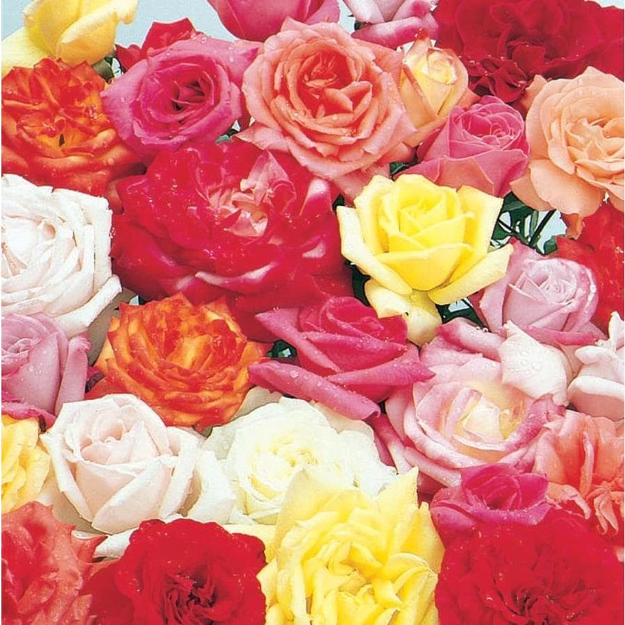 4.9-Gallon Rose (L6023)