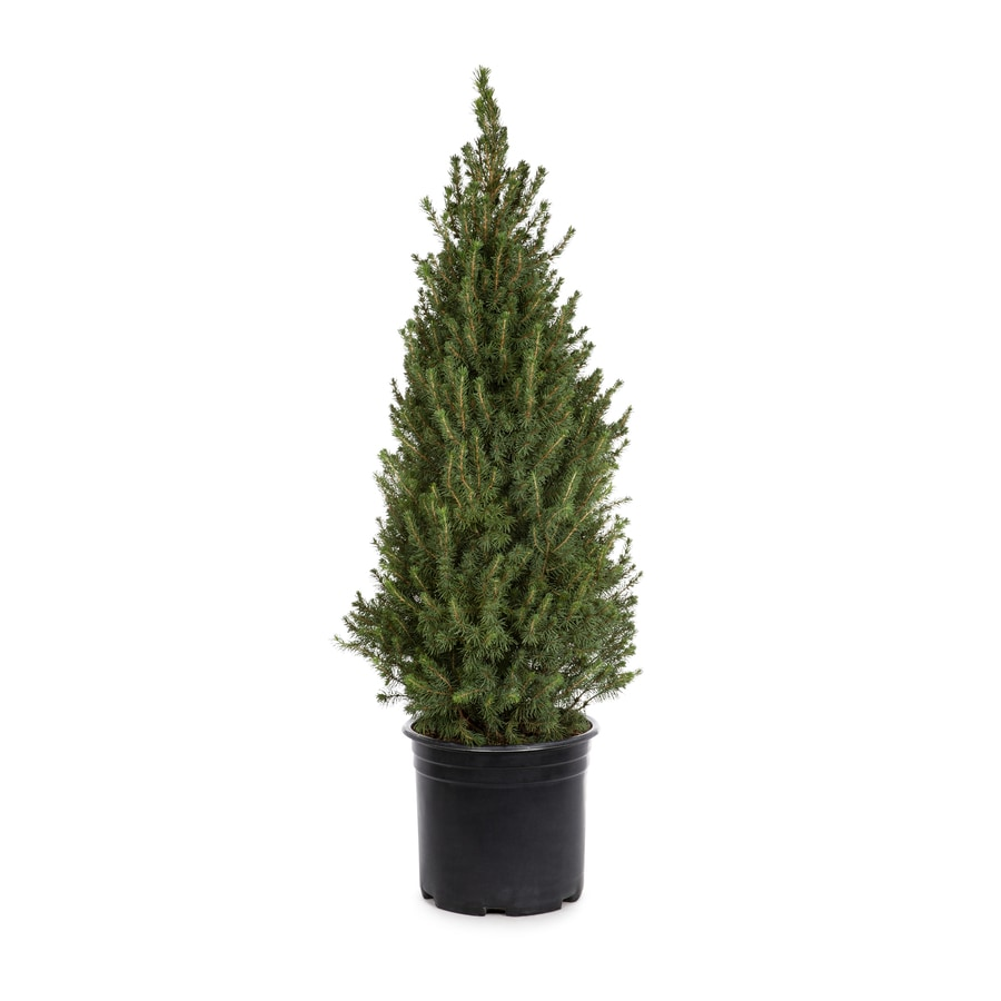 3.58-Gallon Dwarf Alberta Spruce Feature Shrub (L8449)