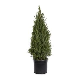 3.58-Gallon Dwarf Alberta Spruce Feature Shrub in Pot (L8449)