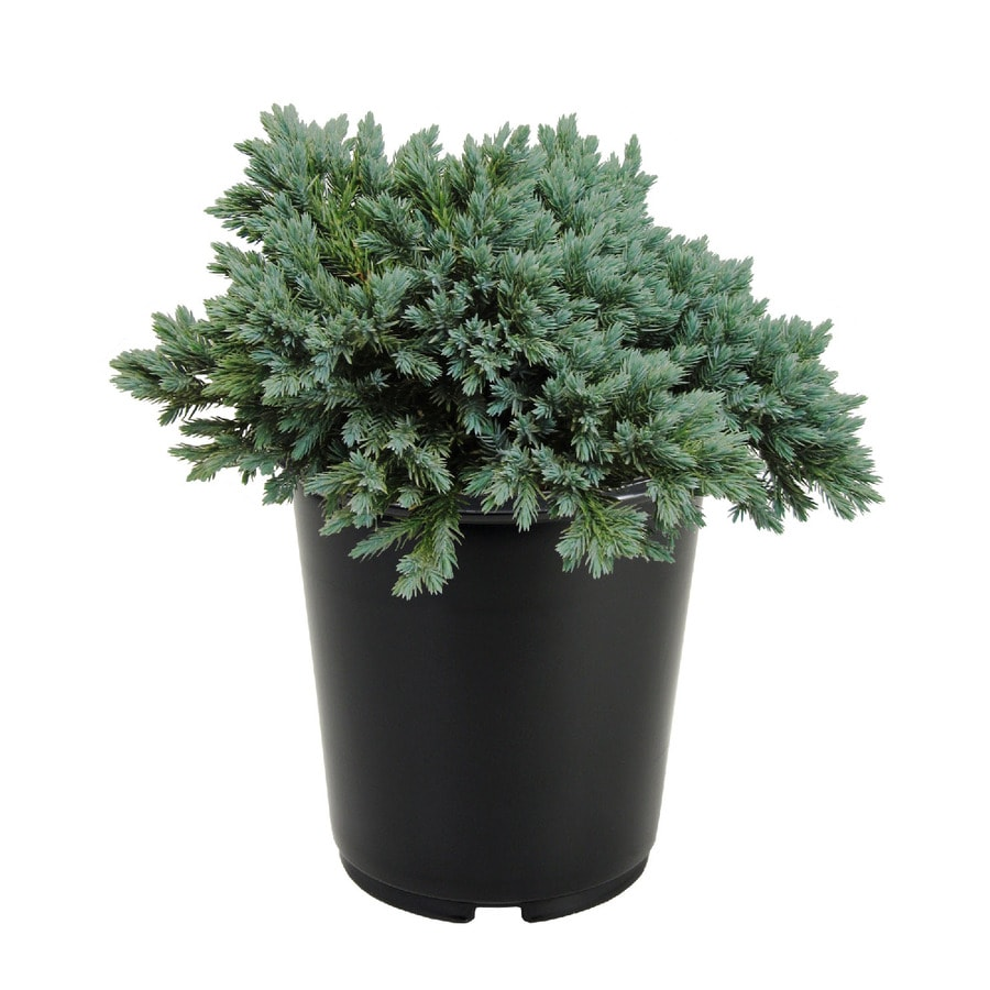 2.5-Quart Juniperus Squamata 'Blue Star' Accent Shrub (L4737)