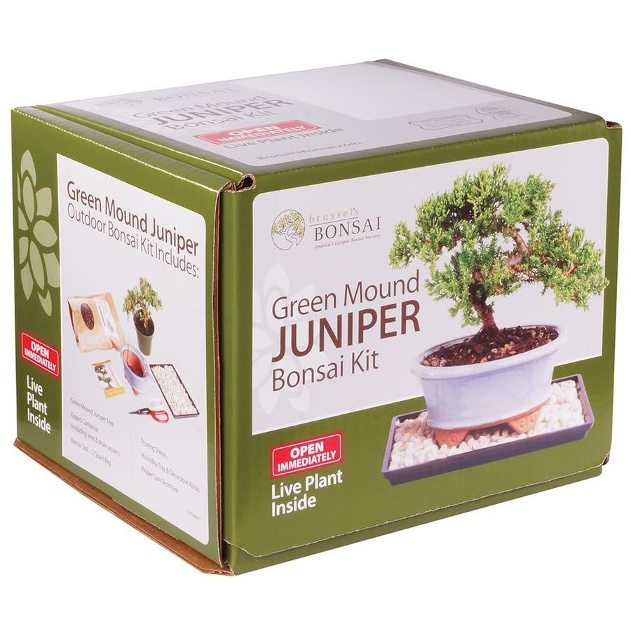 Brussel S Bonsai 1 In Green Mound Juniper Bonsai Kit In Ceramic Planter Dtgmjkit In The House Plants Department At Lowes Com