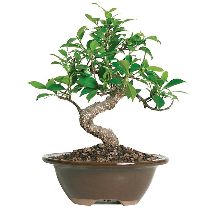 Brussel S Bonsai 6 In Golden Gate Ficus In Clay Planter Ct2005ggf In The House Plants Department At Lowes Com
