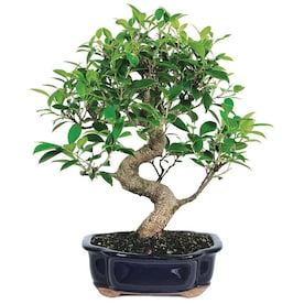 Brussel S Bonsai 10 In Green Mound Juniper In Clay Planter Dt4002gmj In The House Plants Department At Lowes Com