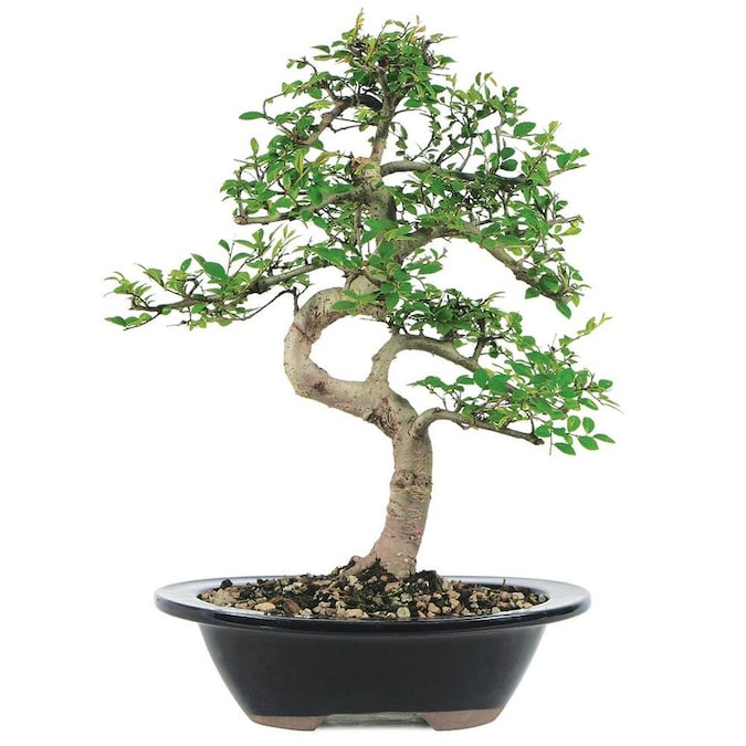 Brussel S Bonsai 8 In Chinese Elm Feature And Use Setting Shot In Clay Planter Ct9006ce In The House Plants Department At Lowes Com