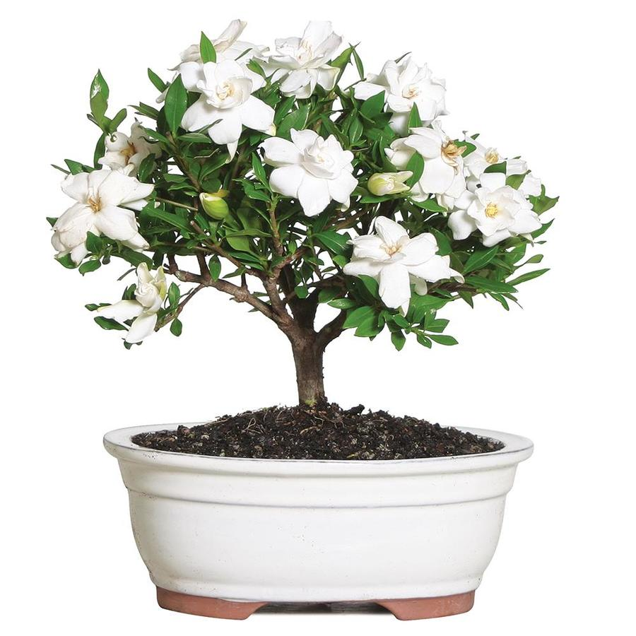 Brussel S Bonsai 8 In White Gardenia In Clay Planter Dt0107g In The House Plants Department At Lowes Com