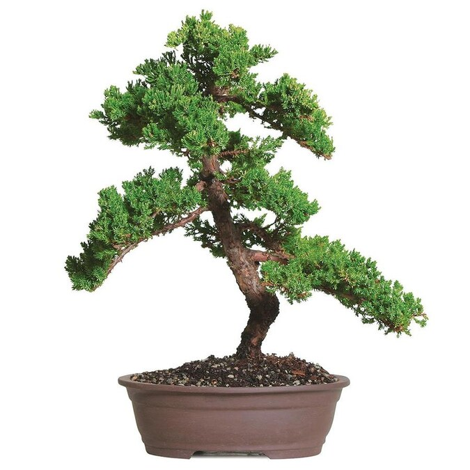 Brussel S Bonsai 12 In Green Mound Juniper In Clay Planter Dt0110gmj In The House Plants Department At Lowes Com