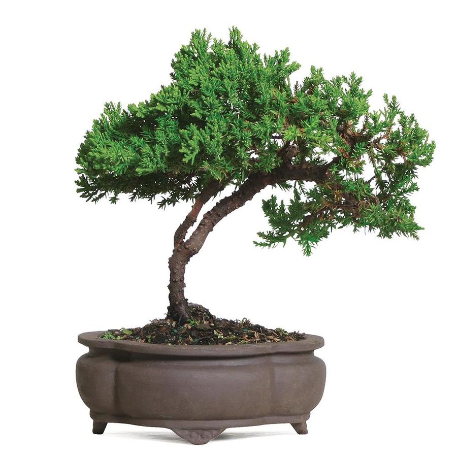 Brussel S Bonsai 6 In Green Mound Juniper Setting Shot In Clay Planter Dt2101gmj In The House Plants Department At Lowes Com