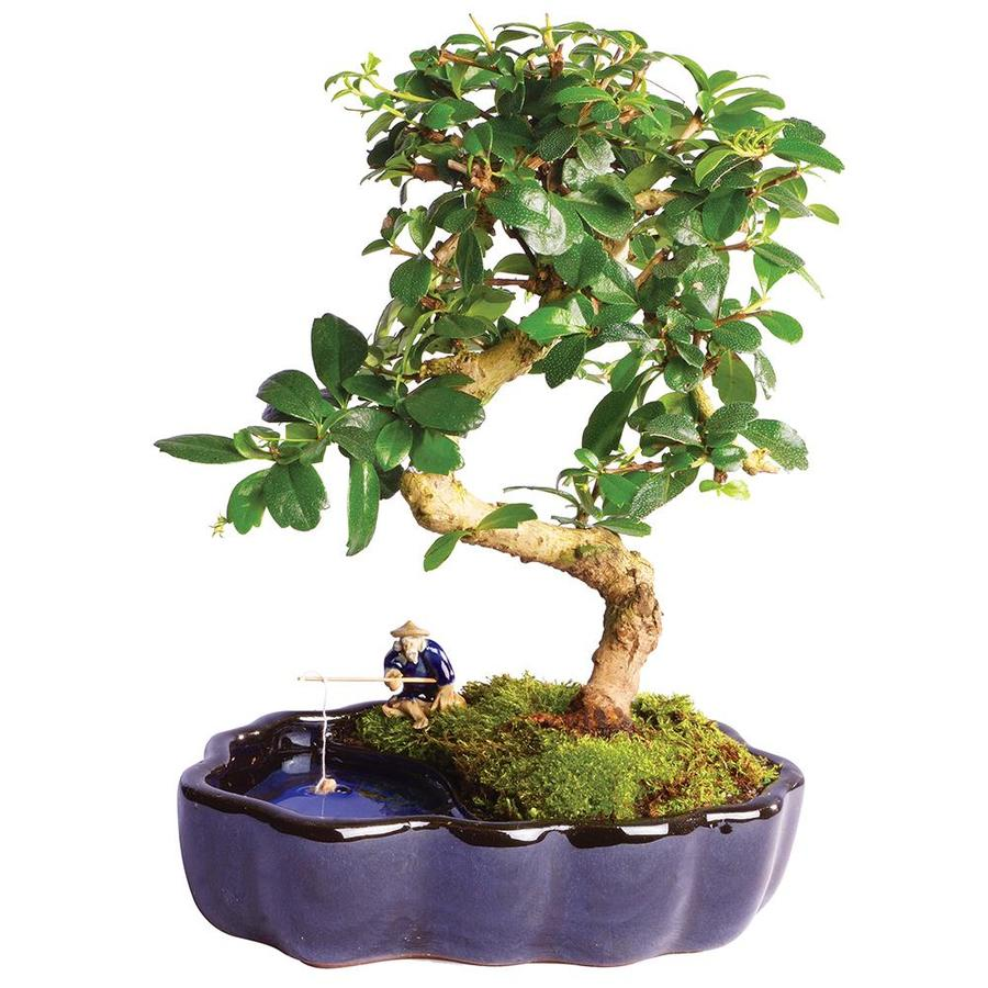 Brussel S Bonsai 1 In White Fukien Tea In Zen Pot In Ceramic Planter Ct1317ftz In The House Plants Department At Lowes Com