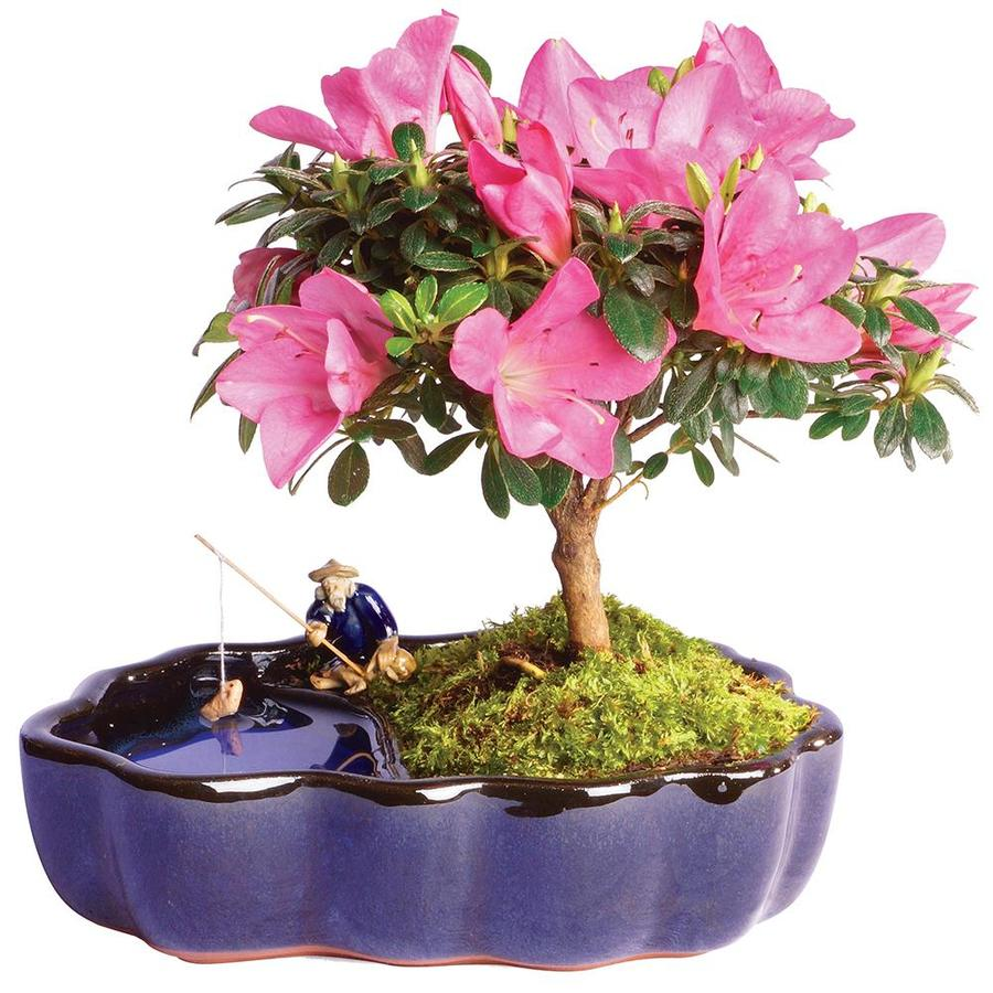 Brussel S Bonsai 1 In Pink Satsuki Azalea In Zen Pot In Ceramic Planter Dt1217azz In The House Plants Department At Lowes Com