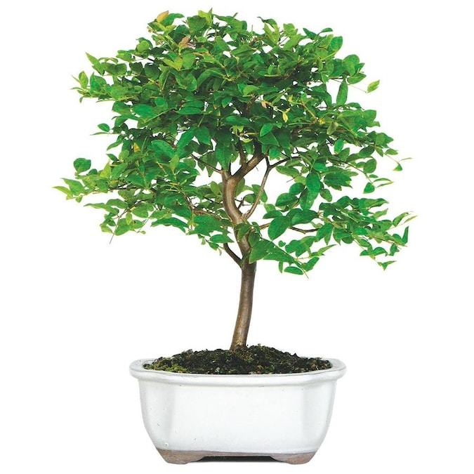 Brussel S Bonsai 6 In Orange Jaboticaba Small In Clay Planter Dt2712jmc In The House Plants Department At Lowes Com
