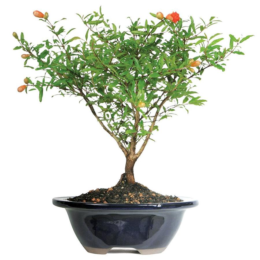 Brussel S Bonsai 7 In Orange Dwarf Pomegranate In Clay Planter Dt0609pg In The House Plants Department At Lowes Com