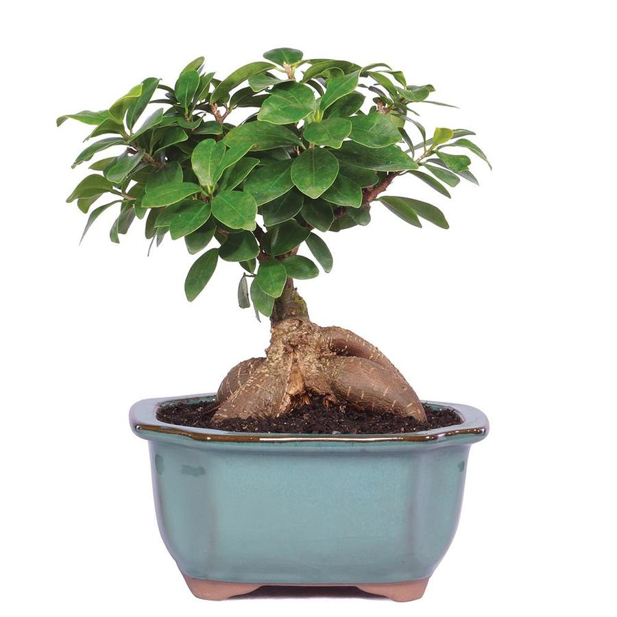 Brussel S Bonsai 6 In Gensing Grafted Ficus In Clay Planter Ct7012gmf In The House Plants Department At Lowes Com