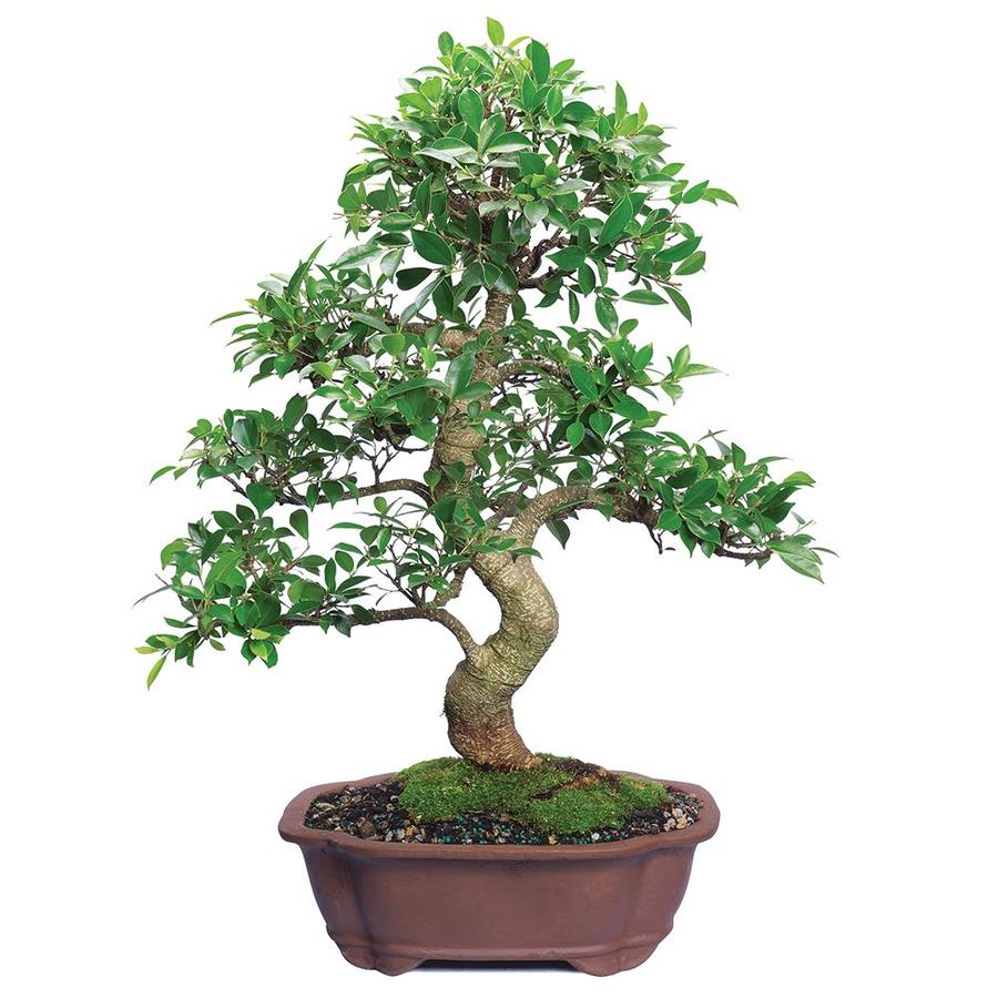 5 Years Old 6 To 10 Tall With Decorative Container Humidity Tray Deco Rock Brussels Live Dwarf Hinoki Cypress Outdoor Bonsai Tree