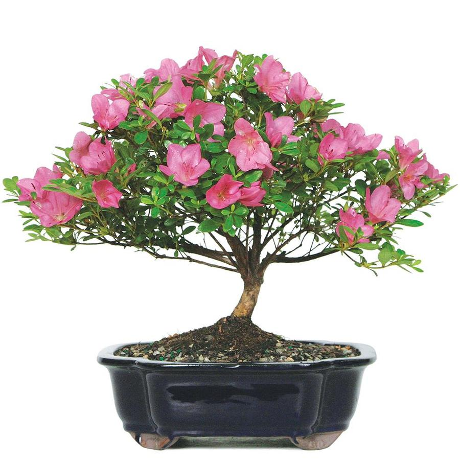 Brussel S Bonsai 10 In Pink Satsuki Azalea Large In Clay Planter Dt6016az In The House Plants Department At Lowes Com