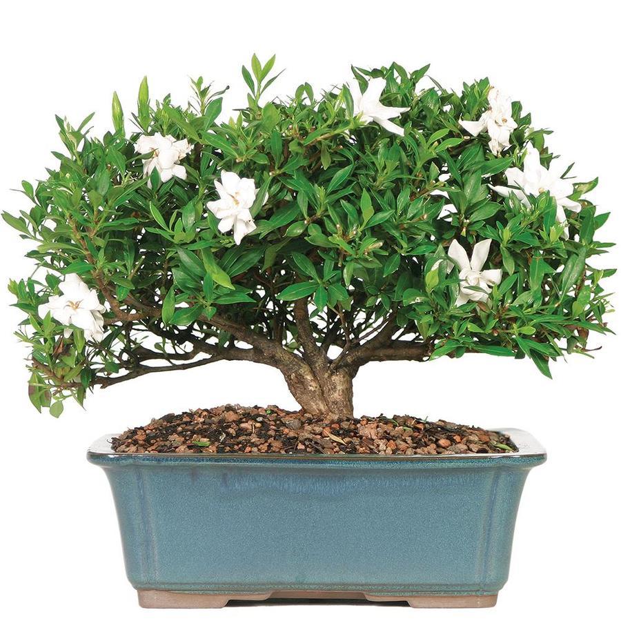 Brusselu0027s Bonsai 16 In Gardenia  Large In Clay Pot (DT6022GR)