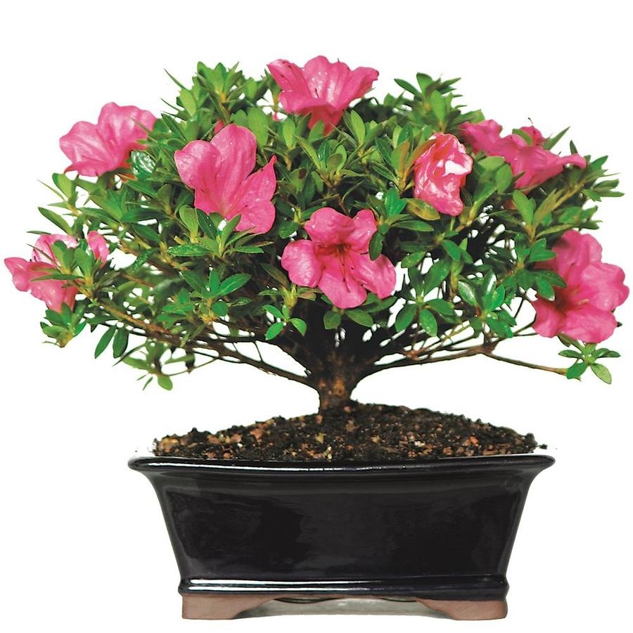 Brussel S Bonsai 8 In Pink Satsuki Azalea In Clay Planter Dt8014az In The House Plants Department At Lowes Com