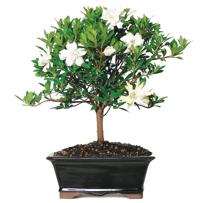 Brussel S Bonsai 8 In White Gardenia In Clay Planter Dt8016gr In The House Plants Department At Lowes Com