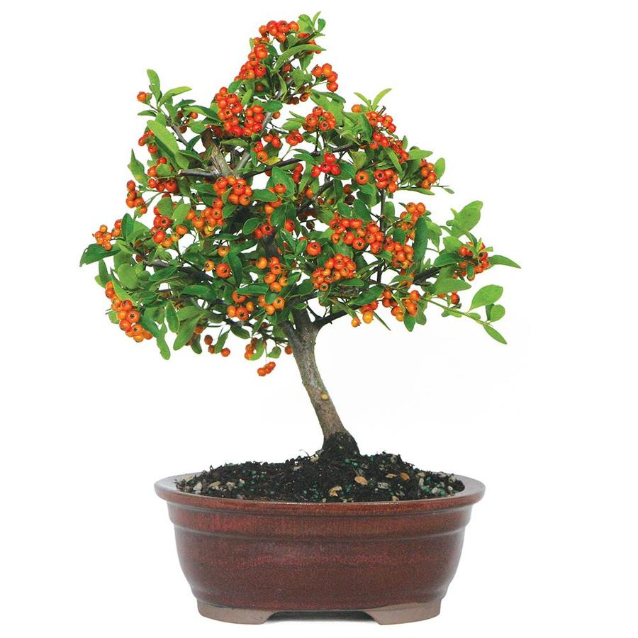 Brussel S Bonsai 8 In Red Dwarf Pyracantha In Clay Planter Dt9022dp In The House Plants Department At Lowes Com