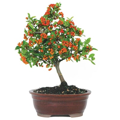 Brussel S Bonsai House Plants At Lowes Com