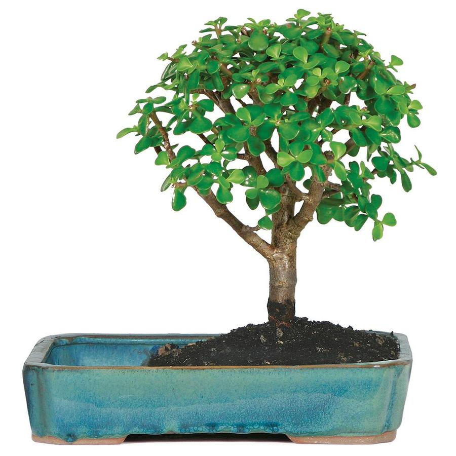 Brussel S Bonsai 8 In Dwarf Jade In Water Pot In Clay Planter Dt9050wp In The House Plants Department At Lowes Com