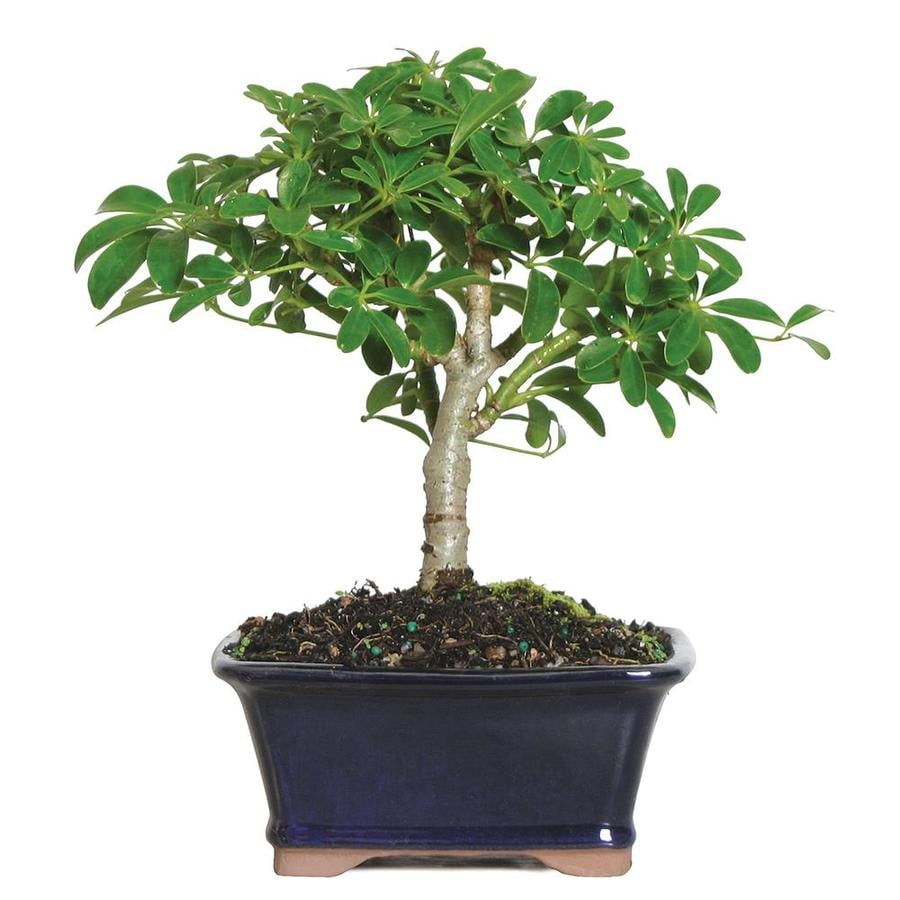 Umbrella Tree Houseplant on umbrella tree schefflera arboricola, umbrella tree care, umbrella tree fruit, umbrella tree plant propagation, umbrella tree bulbs, umbrella tree leaf, umbrella tree tree, umbrella tree fertilizer, umbrella tree potted plant, umbrella tree christmas, umbrella tree flower, umbrella tree tropical, umbrella tree bark, umbrella tree indoor, umbrella tree furniture, umbrella tree seeds, umbrella tree leaves, umbrella tree bonsai,