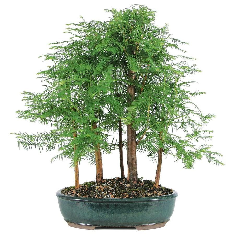 Brussel S Bonsai 12 In Dawn Redwood Grove 5 Tree In Clay Planter Dt6005drg5 In The House Plants Department At Lowes Com