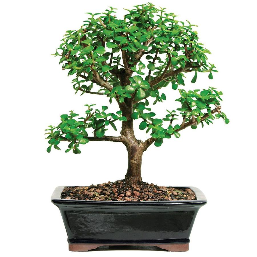 Brussel S Bonsai 10 In Dwarf Jade In Clay Planter Dt6027dj In The House Plants Department At Lowes Com