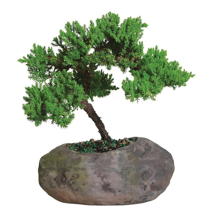 Brussel S Bonsai Inch Es Green Mound Juniper In Rock Pot In Clay Planter Dt1509gmjr In The House Plants Department At Lowes Com