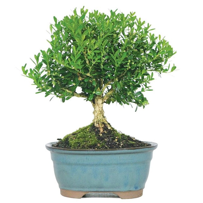Brussel S Bonsai 6 In Harland Boxwood In Clay Planter Dt5512hb In The House Plants Department At Lowes Com