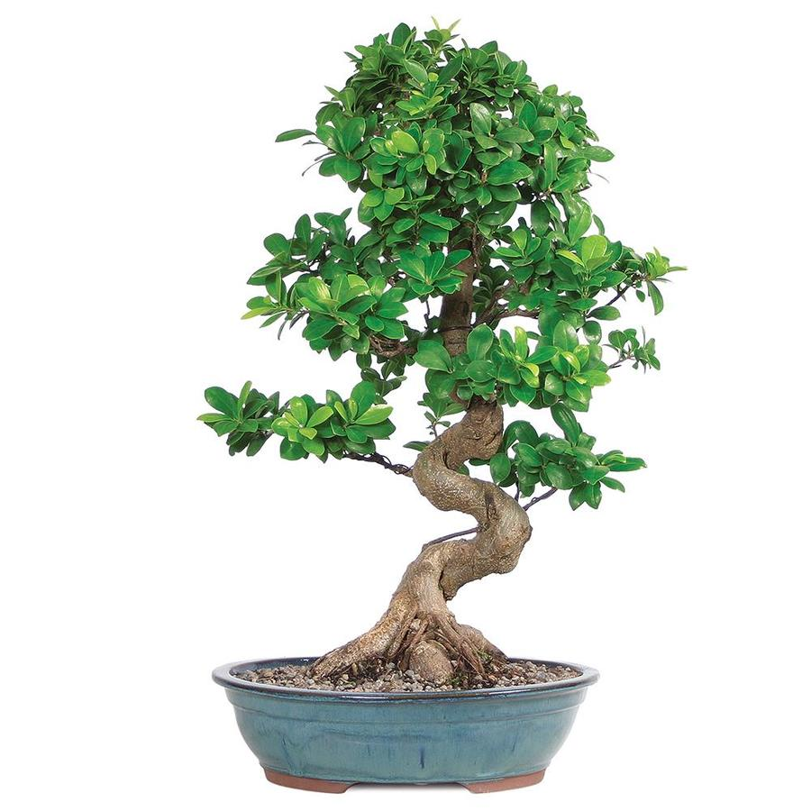 Brussel S Bonsai 14 In Gensing Grafted Ficus In Clay Planter Ct0113gf In The House Plants Department At Lowes Com