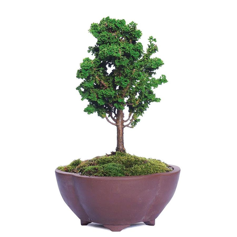Brussel S Bonsai 6 In Dwarf Hinoki Cypress In Clay Planter Dt2714sk In The House Plants Department At Lowes Com