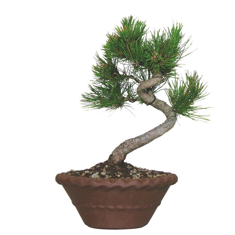 Brussel S Bonsai 10 In Japanese Five Needle Pine In Clay Planter Dt0117fnp In The House Plants Department At Lowes Com