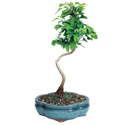 Brussel's Bonsai 8-in Ginkgo in Clay Planter (Dt0317gb) at