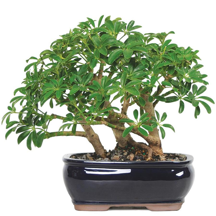 Brussel S Bonsai 8 In Dwarf Hawaiian Umbrella Tree In Clay Planter Dt2514arb In The House Plants Department At Lowes Com
