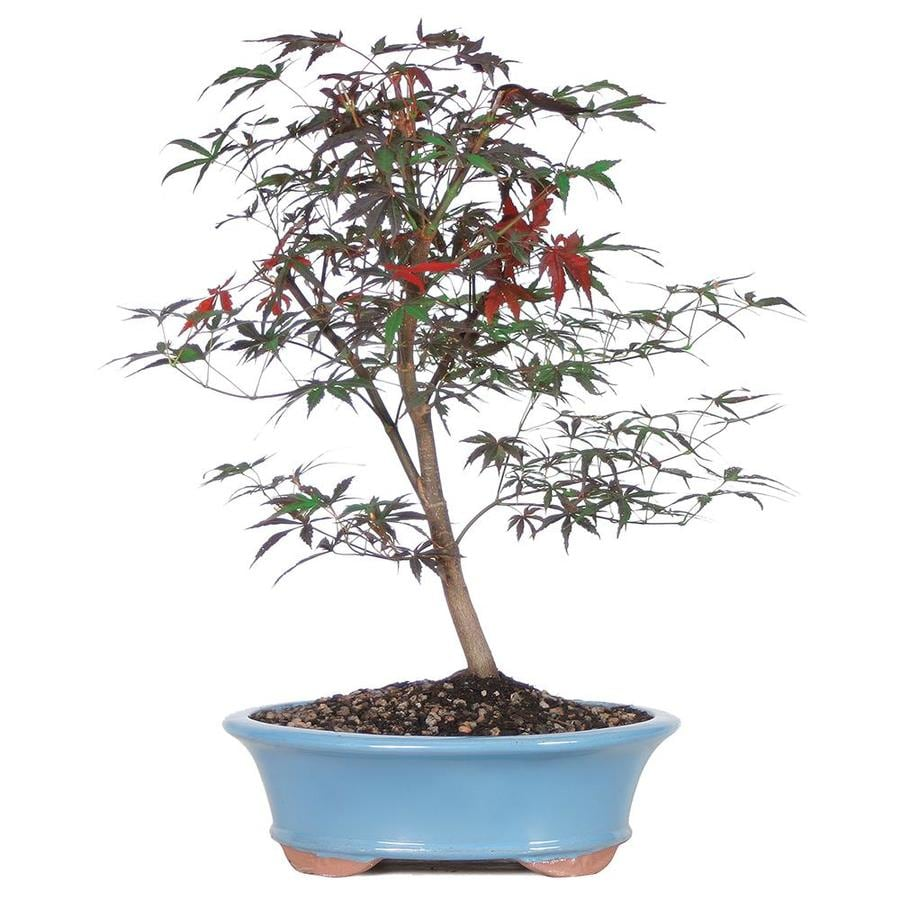 Brussel S Bonsai 12 In Japanese Red Maple In Clay Planter Dt0215jrm In The House Plants Department At Lowes Com