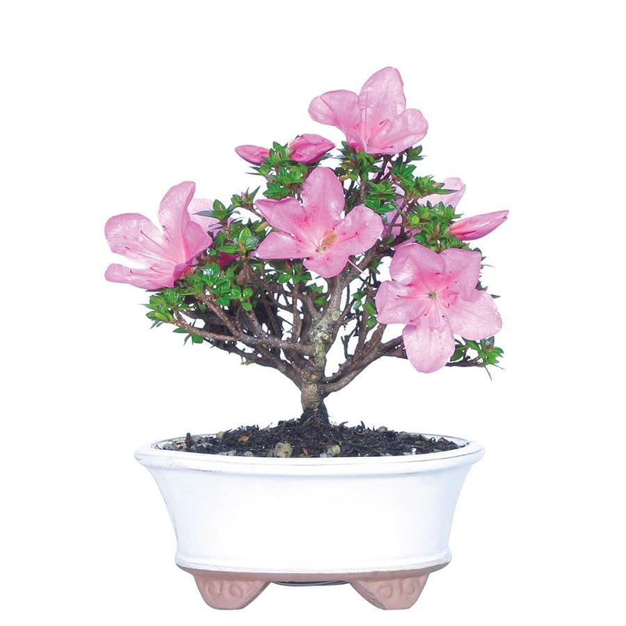Brussel S Bonsai 6 In Pink Azalea Rukikazan In Clay Planter Dt0516rka In The House Plants Department At Lowes Com