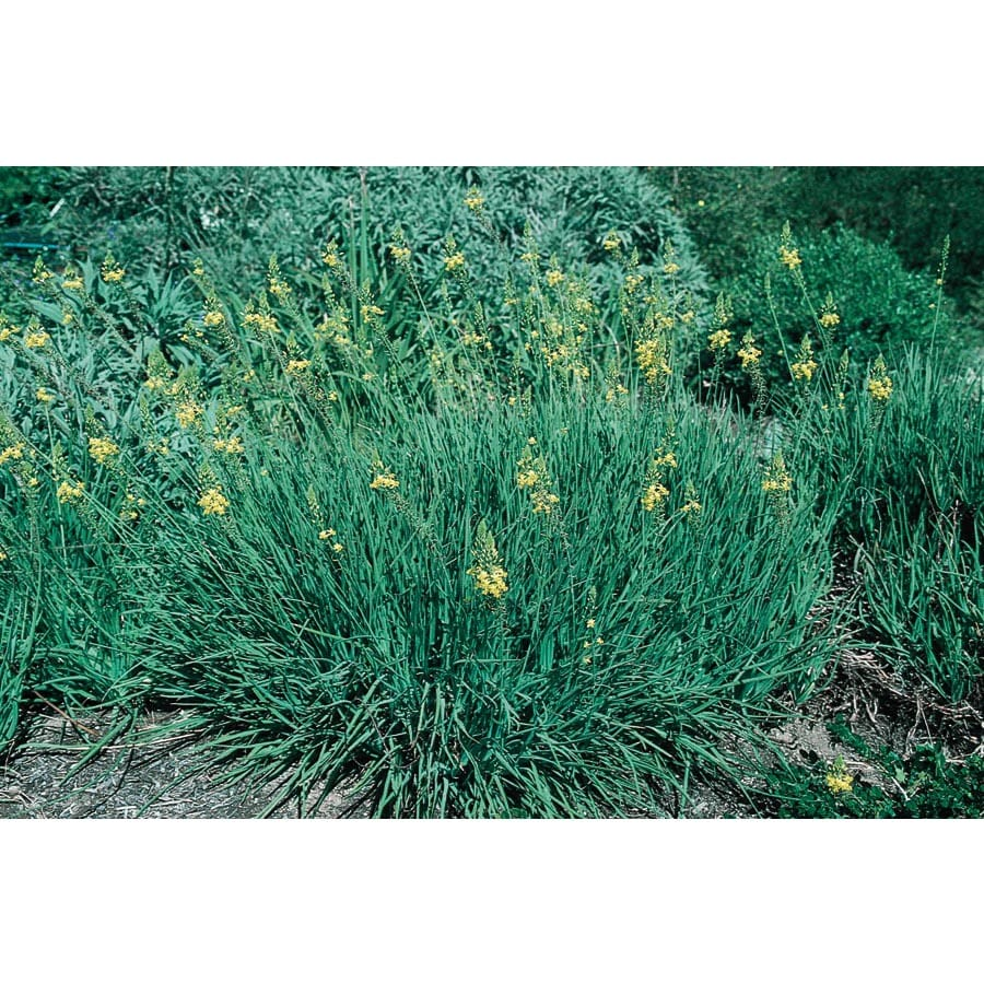 1-Quart Orange Bulbine (Lw03003)