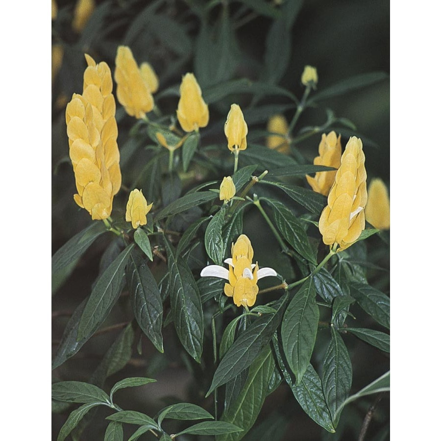 1-Gallon Yellow Shrimp Plant (L9762)