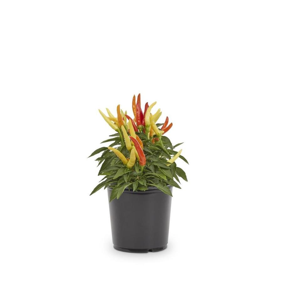 3-Quart Ornamental Pepper (L9728)