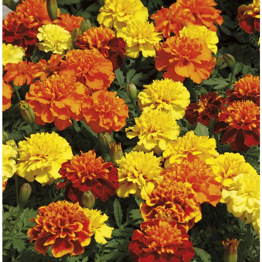 1-Quart French Marigold (Dwarf) (L17086)