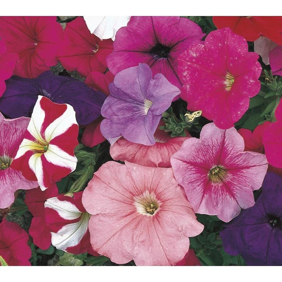 1-Quart Petunia (L17355)