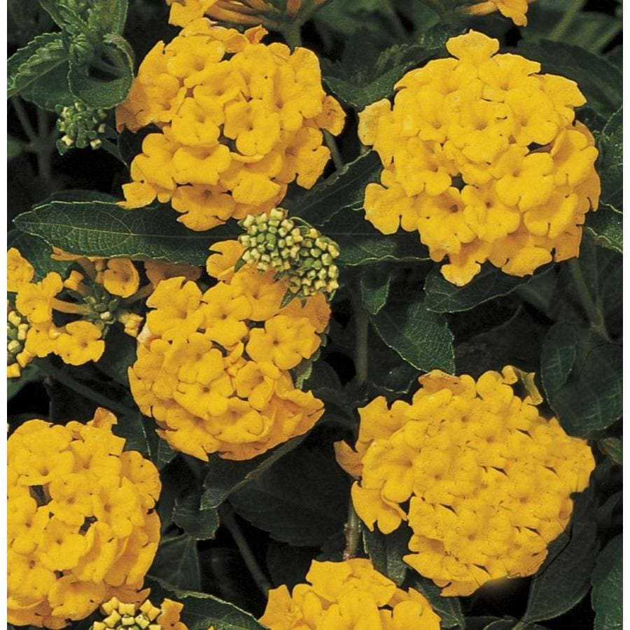 2.5-Quart New Gold Lantana (Ltss002)