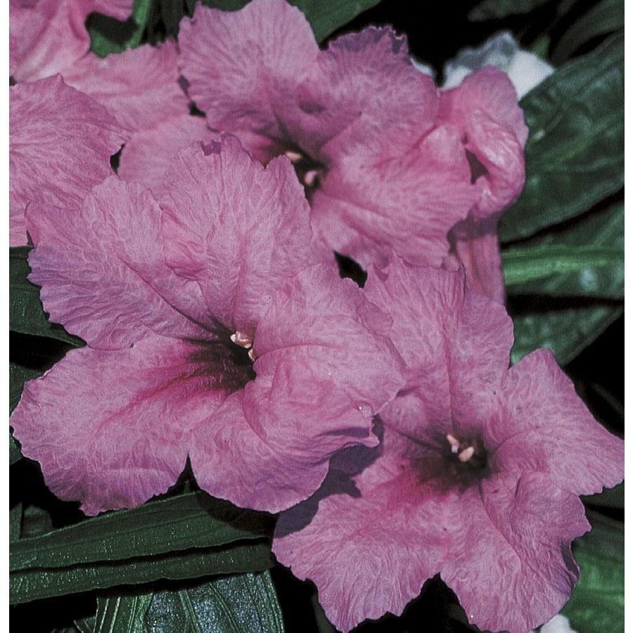 2.5-Quart Dwarf Mexican Petunia (Ltss006)