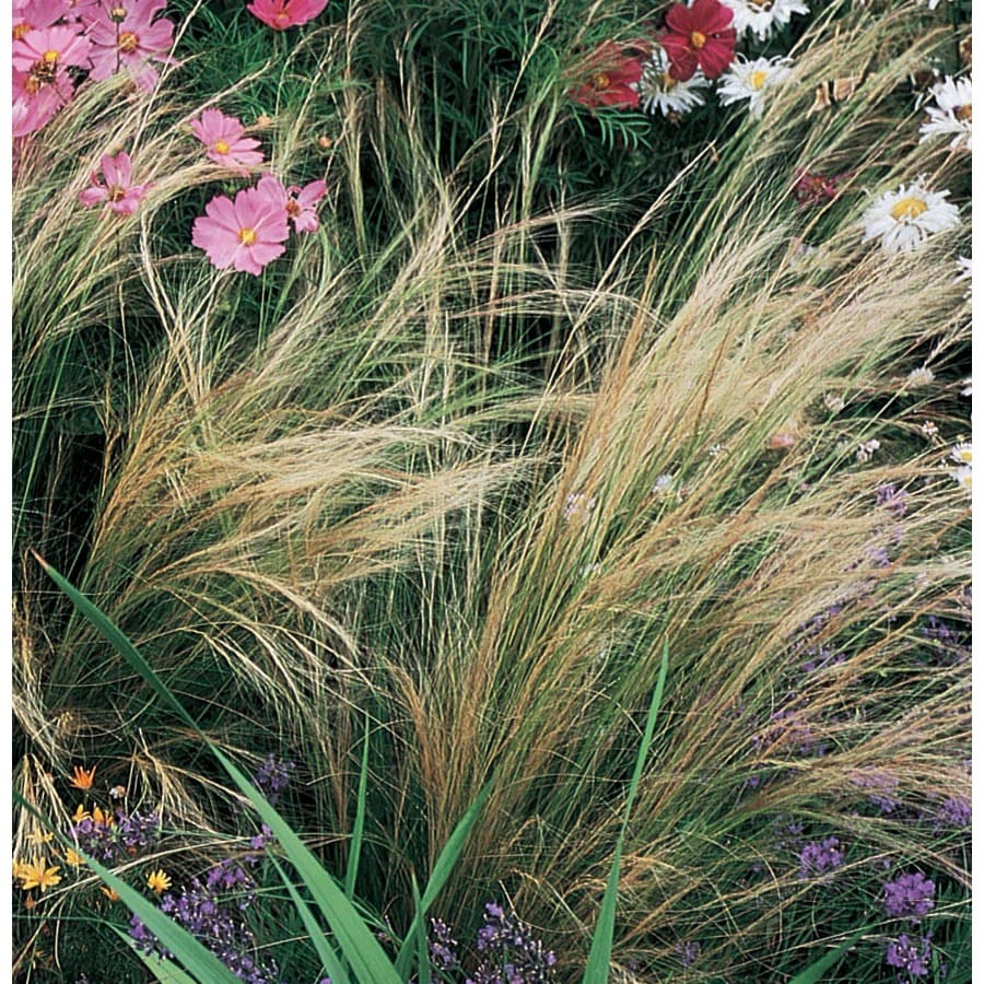 2.5-Quart Mexican Feather Grass (L14384)