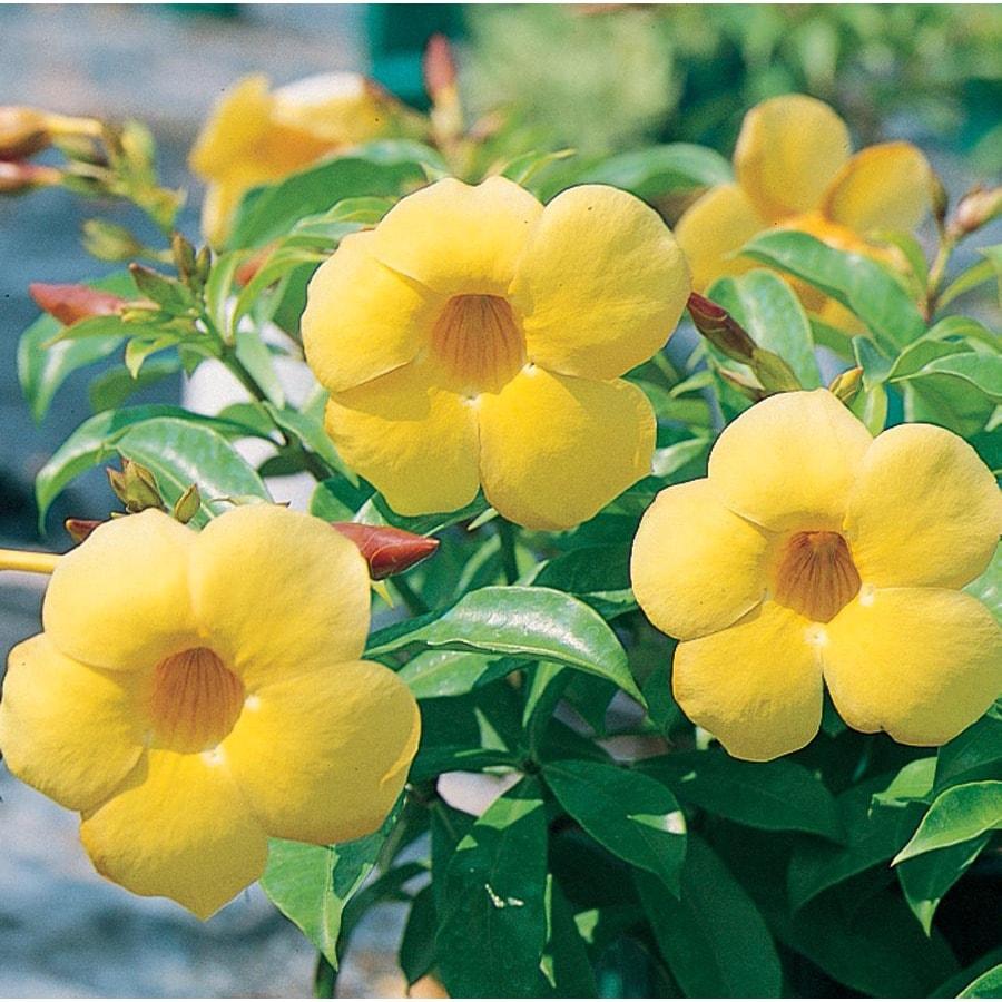 2.5-Quart Yellow Allamanda Bush Flowering Shrub (L3415)