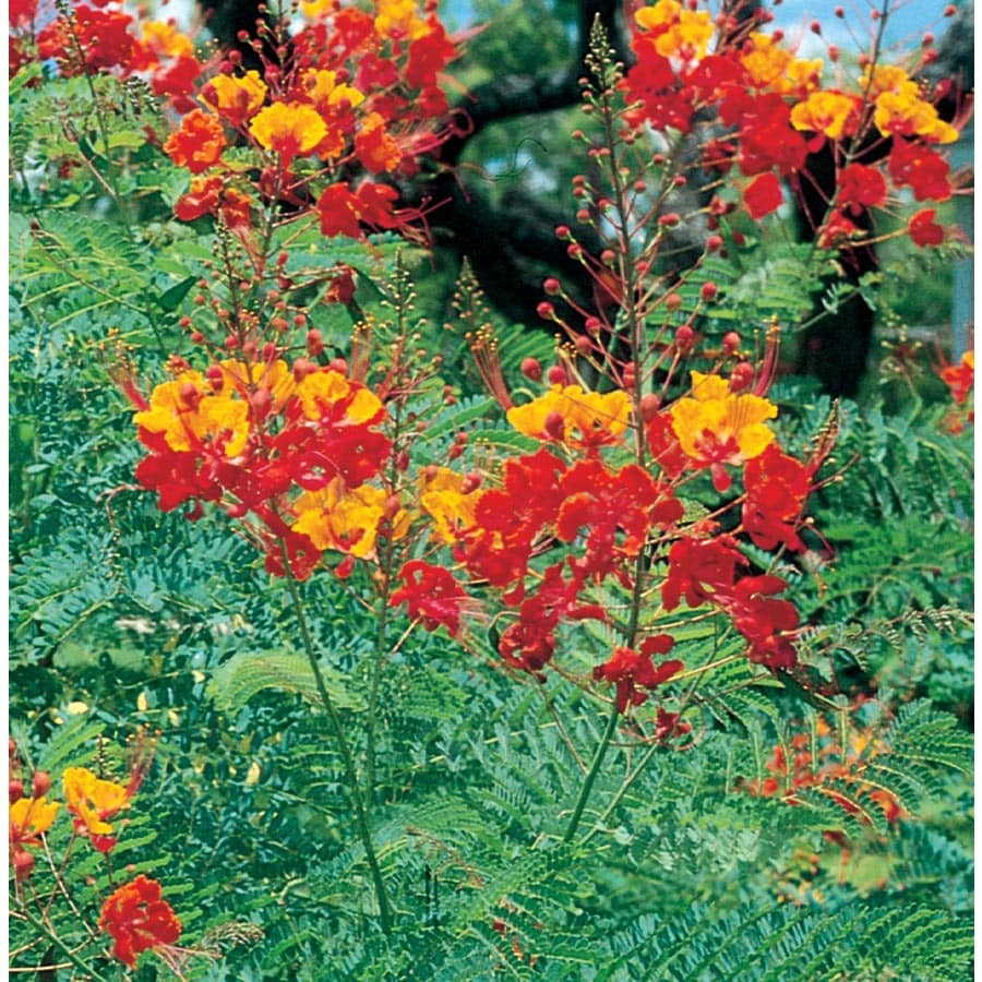 Bicolor Pride Of Barbados Flowering Shrub In Pot With Soil L11814